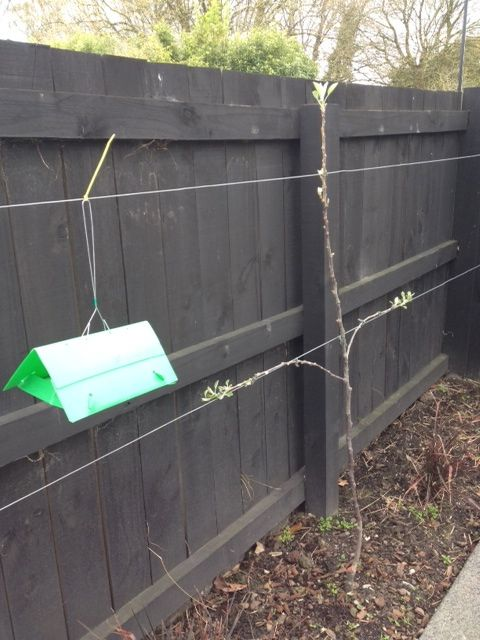 I fitted the Codling Moth Trap near the apple trees today. Now to count the moths weekly once the apples blossom! The trap does not look very attractive but hopefully it works well. September 2013