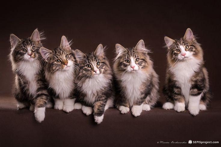 koty kocięta norweskie leśne, kociaki z rodowodem, kocięta na sprzedaż