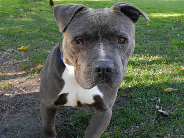 American Pit Bull Terrier dog for Adoption in Upland, CA. ADN-596610 on PuppyFinder.com Gender: Male. Age: Adult