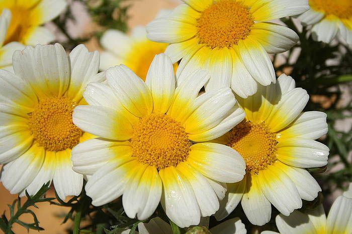 Garland chrysanthemums (Chrysanthemum coronarium, Leucanthemum coronarium)  edible
