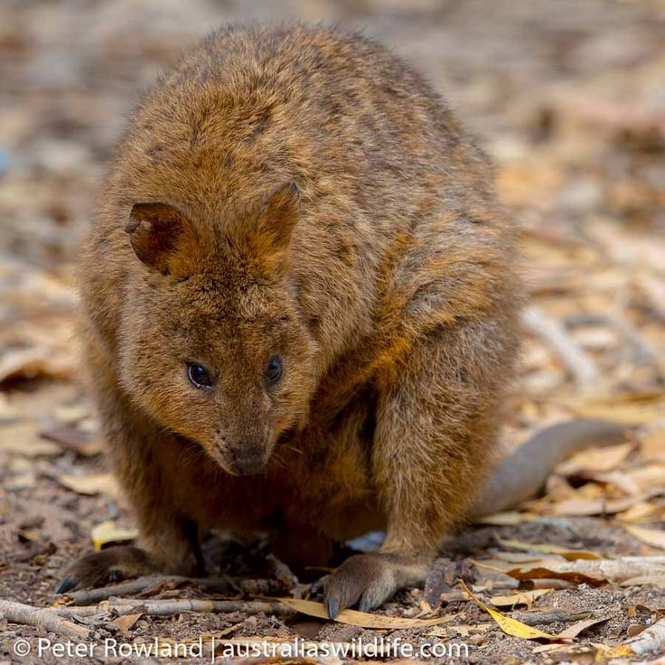 #Quokkas are small #wallabies, around the size of a small dog. This one happily posed for us for several minutes when we were recently on Rottnest Island, near #Perth in #Western #Australia