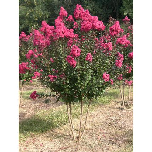 Crape Myrtle 'Pink Velour' the tree that grows in virginia that Dad loves