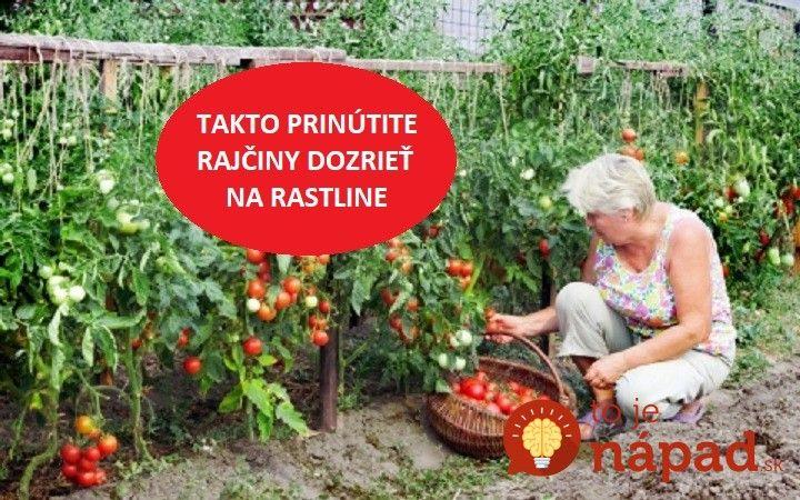 Toto si zapamätajte a odložte aj na neskôr: Takto prinútite rajčiny dozrieť na rastline!