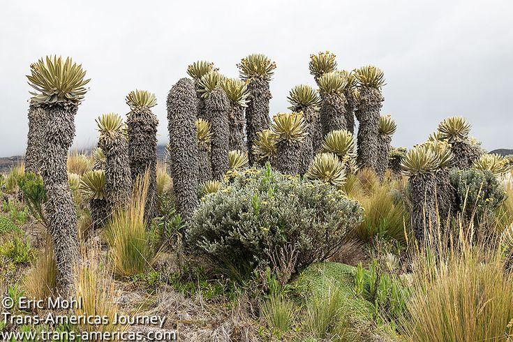 Frailejon Espeletia plant paramo Colombia