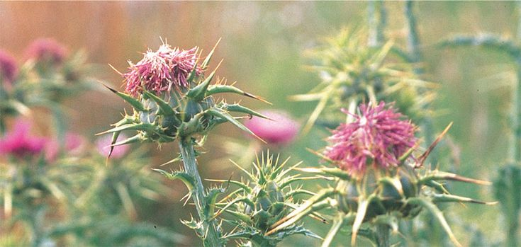 Milk thistle is a powerful liver cleansing food