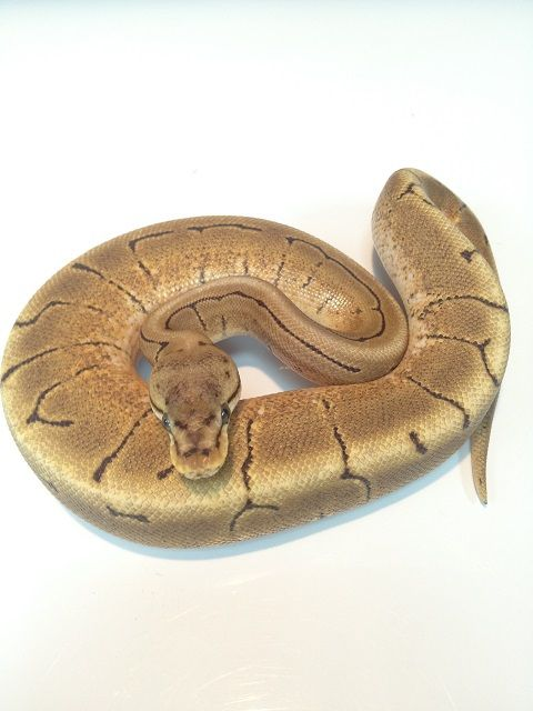 Snakes at Sunset - Spinner Ball Pythons for sale (Python regius), $129.99 (http://snakesatsunset.com/spinner-ball-pythons-for-sale-python-regius/)