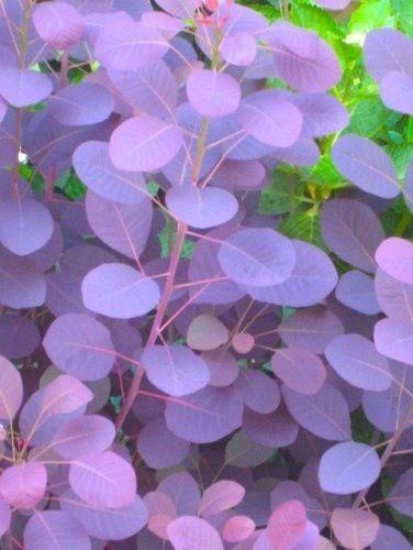 Smoke bush purple. Zones 4-9. Changes color in fall.