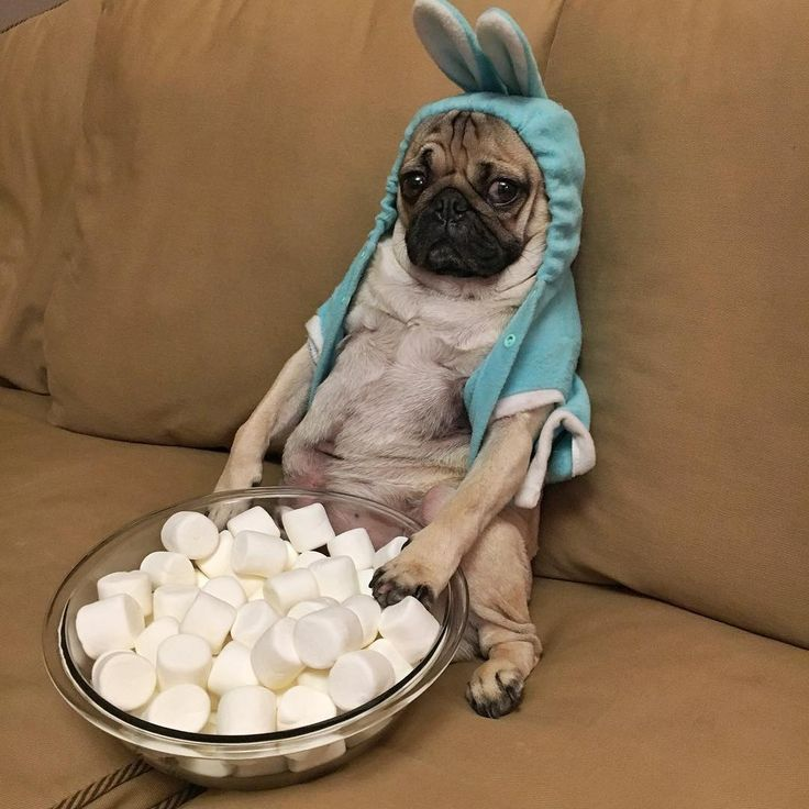 28 Best Pugs Images On Pinterest Cute Dogs Funny