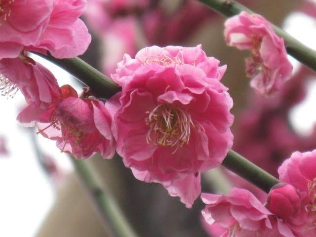 1月9日の誕生日の木は「カンコウバイ(寒紅梅)」です。  バラ科サクラ属の落葉小高木。カンコウバイはウメの早咲きの園芸品種の1種です。 名前の由来は、寒の時季〔二十四節気の小寒の日から立春の前日(節分)までの約30日間〕に紅色の花を咲かせることによります。 樹高は3m~6m。葉は卵形で、互い違いに生え、葉の先は尖り、縁には浅いギザギザ(鋸歯)があります。開花期は1月~2月。葉の展開に先立って花を咲かせます。お正月になるとチラホラ花を付けだし、2月になると満開になり、周囲にウメの花独特の芳香を漂わせます。
