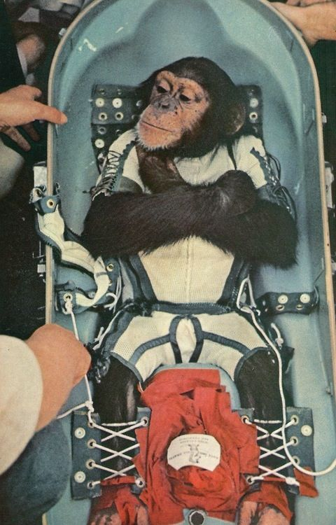 Space Chimp / post Lyka the space dog first sentient beings to leave Earths surface..omg, he must been so terrified..:/