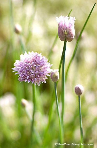 Tips for Growing Chives | http://shewearsmanyhats.com/chives/