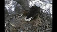 Decorah Eagles Live Stream Video of Eagle Pair Nesting, Chicks hatching, and Raising...it's happening now & we watch everyday!!  It's Awesome!!