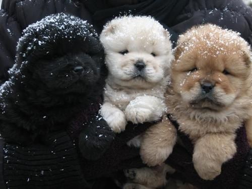 Chow Chow pups.
