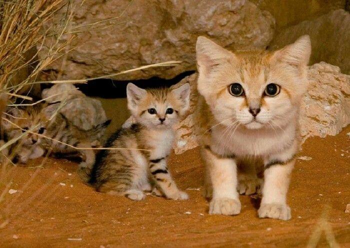 Песчаная кошка (Felis Margarita) Кошка отличается своеобразным строением головы и тем, что у неё на подушечках лап растёт мех, который защищает от горячих поверхностей.