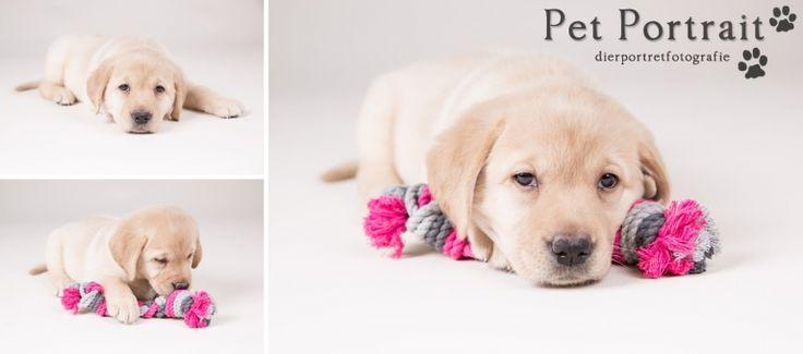 Hondenfotograaf Hillegom - Nestfotoshoot Labrador retriever pups geel en zwart-5