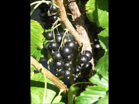2012 07 07 fekete ribiszke