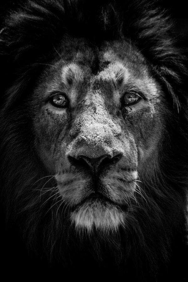 "500px / Photo ""the king of the jungle"" by Miguel Angel Junquera"