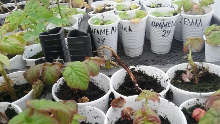 Часть 1.Лёгкий и простой способ размножения ремонтантной малины корневым...