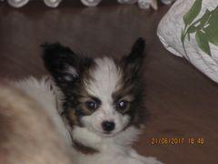 Миниатюрный папильон. Собаки, щенки, Украина, Днепропетровск и область, цена