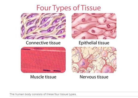 In humans, similar cells may combine to form tissues.  These are four types of tissues.