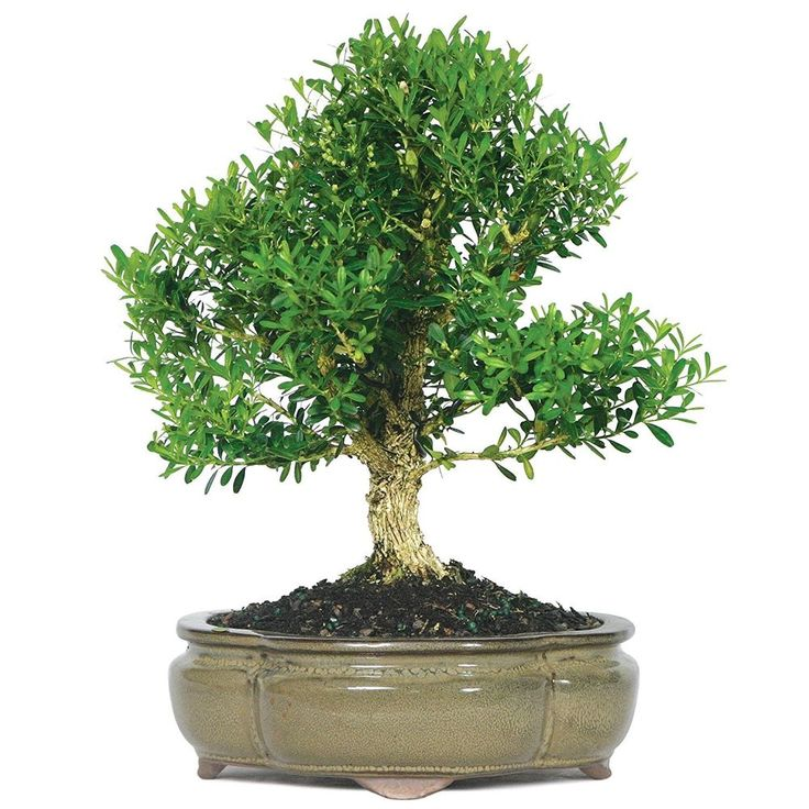 Bonsai Harland Boxwood Tree Beautiful Plant Dark Green Foliage 6 Year Ind/Outsid #BonsaiHarlandBoxwoodTree