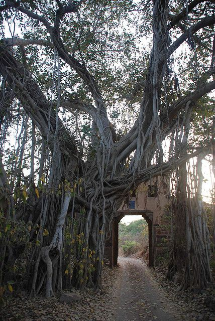 A 500 year old banyan tree integrated with an old fort gate in Ranthambhore National Park, India (by IanTaylorEsq).