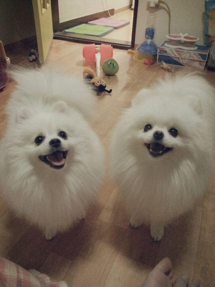 Pomeranians :) smily