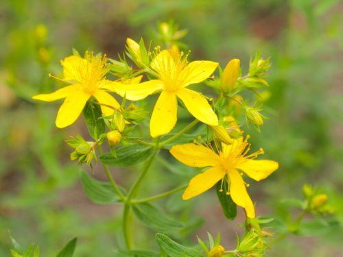 Iperico  è una pianta della famiglia delle Hypericaceae. Le sue sommità fiorite sono ricche di flavonoidi e svolgono un'azione antidepressiva e sedativa.