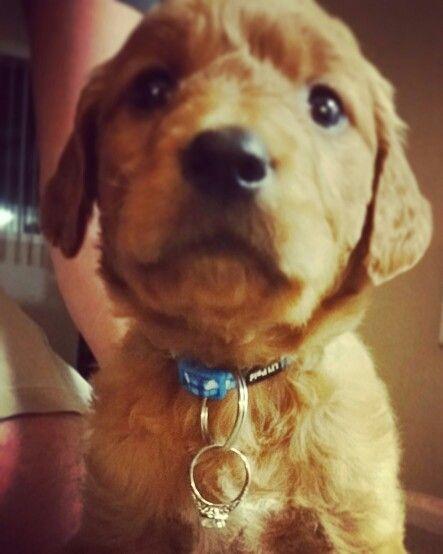 Sweetest proposal ever!! Golden retriever puppy