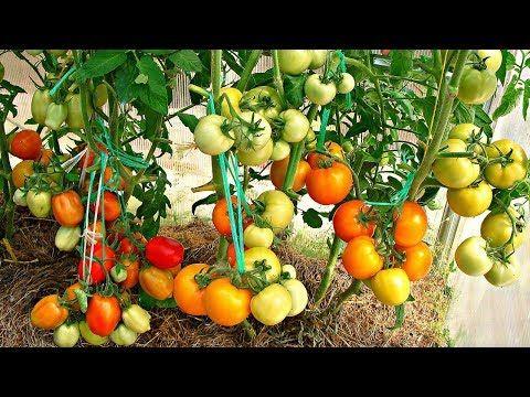 (239) Посадка помидоров по два в лунку, что дает - YouTube
