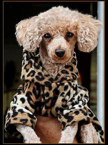 poodle in leopard