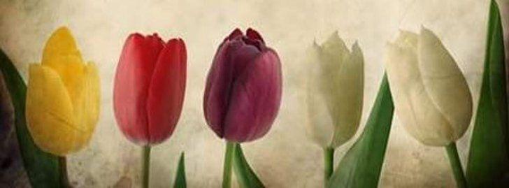 Tulipanes De Varios Colores Portadas para Facebook - Portadas para Facebook , Imágenes para Facebook , Portadas Timeline frases para facebook Portadas.biz