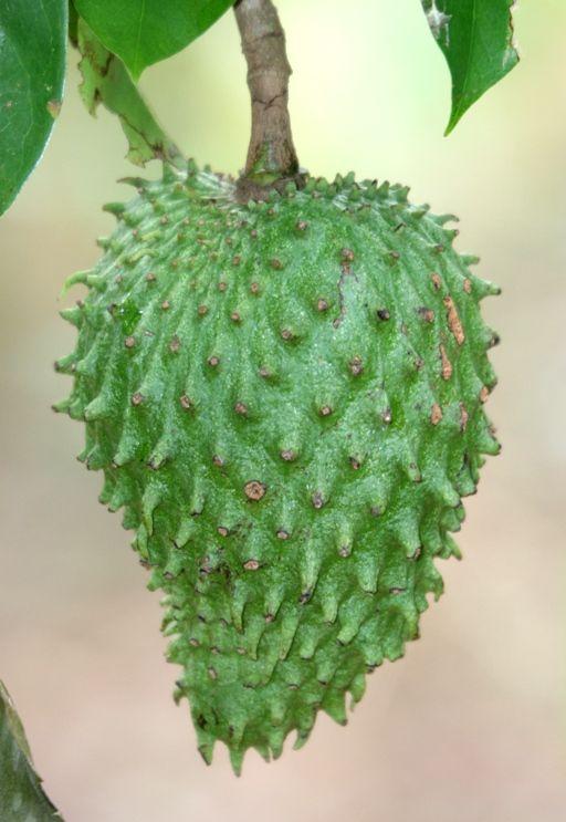 Sour Sop.Prickly Skin, Treats Hypertension, Limes Juice, Aka Guanabana, Beautiful, Sweets Sop, Bit Coarser, Sour Sop, Favorite Fruit