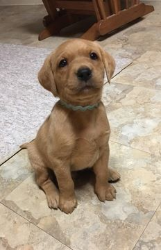 Labrador Retriever Puppy For Sale In Trenton Mi Adn 53593 On Puppyfinder Com Gender Male Age 5 Weeks Old I Labradors Puppies Labrador Labrador Ret