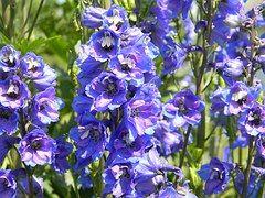 Lupino, Flor, Flores De Color Azul, Azul