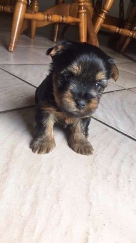 3 x Male Pure Bred Australian Silky Terrier Pups. 1 has been Sold.  Available Mid May 2016. Puppies will be Vaccinated, Wormed and Microchipped.  Beautifully natured puppies, very playful and are great indoor or outdoor dogs - https://www.pups4sale.com.au/dog-breed/391/Australian-Silky-Terrier.html