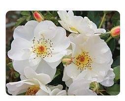 Oscar Peterson (Canadian Artist Series) Rose - Oscar Peterson was a jazz pianist and composer. Z3, 3' x 3'; Upright bush with glossy deep green foliage; semi-double blooms turning from softest cream yellow to glistening bright white; blooms arranged in sprays with boss of yellow stamens, dropping cleanly after blooming; good repeat bloomer; non-suckering and fragrant; great disease resistance; ff