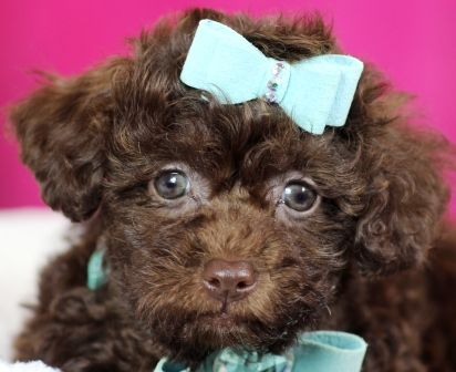 ♥♥♥ Teacup Poodle! ♥♥♥ Bring This Perfect Baby Home Today! Call 954-353-7864 www.TeacupPuppies... ♥ ♥ ♥ TeacupPuppiesStore - Teacup Puppies Store Tea Cup