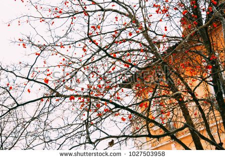 Big bright red berries on a winter tree branches.