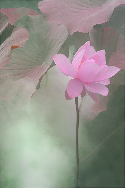 Pink Lotus #Beautiful Flowers| http://beautiful-flowers-collections.lemoncoin.org