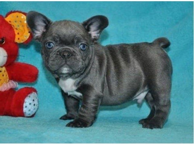 Bluefrenchbulldogpuppies Blue Pied French Bulldog Puppy Teacups