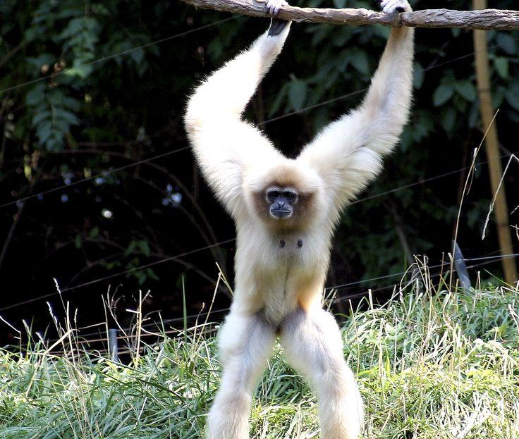 Ο γίβωννας  Ο Γίβωννας είναι ένας μικρού μεγέθους πίθηκος, που βρέθηκε και κατοικεί στις πυκνές ζούγκλες και τροπικά δάση σε όλη τη Νοτιοανατολική Ασία.