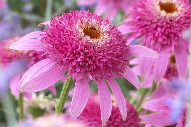 Spunky coneflowers in vibrant pink add both color and texture to your flower garden. Check out 14 other varieties to introduce to your yard from HGTV Gardens.