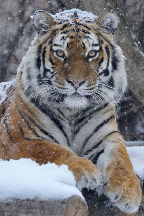 pikxchu:Snow Majesty by Josef Gelernter