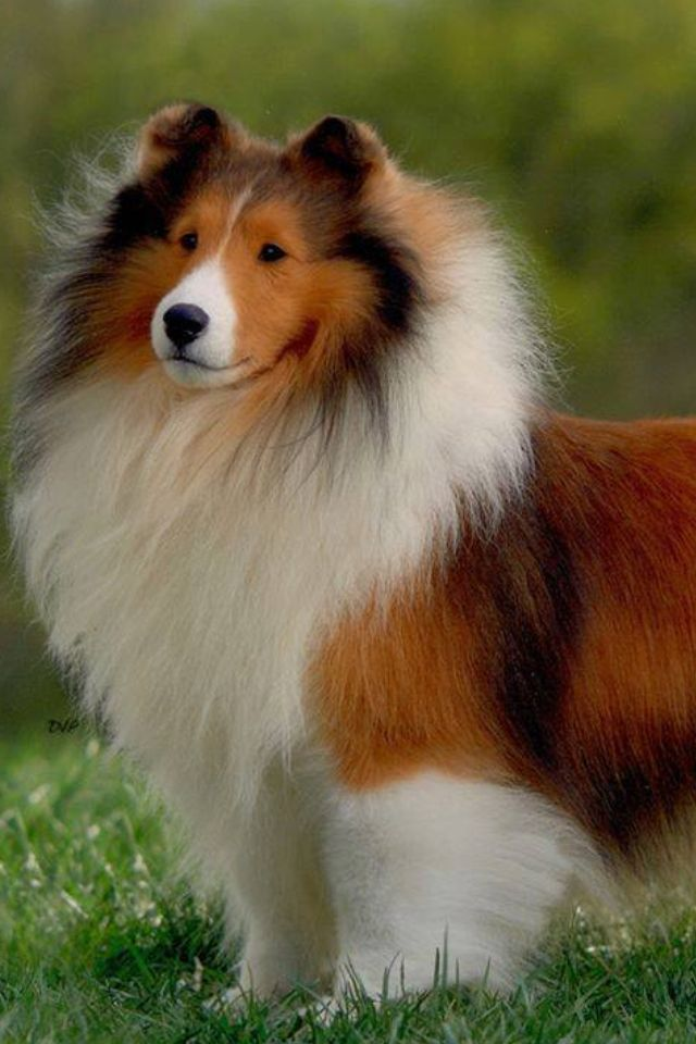 Dog Like A Sheltie With Eye Make Up