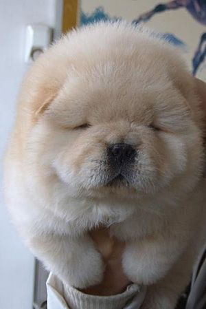 ooo.....: Snuggles, Ball, Dogs, Pet, Chowchow, Fluffy Puppies, Chow Chow Puppies, Puppies Chow, Animal