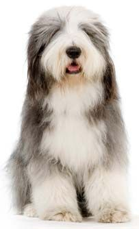 Bearded Collie--Sass is usually at the groomer with a family of Beardies.  Our favorite is Alex--a show dog--such a sweetie!
