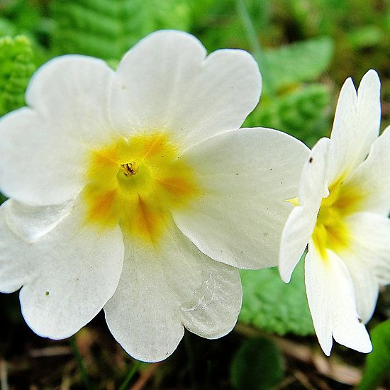 Two yellow primeroses  #flowers #primerose #spring #yellow #cute #greetingcards #fotosbykarin #redbubble