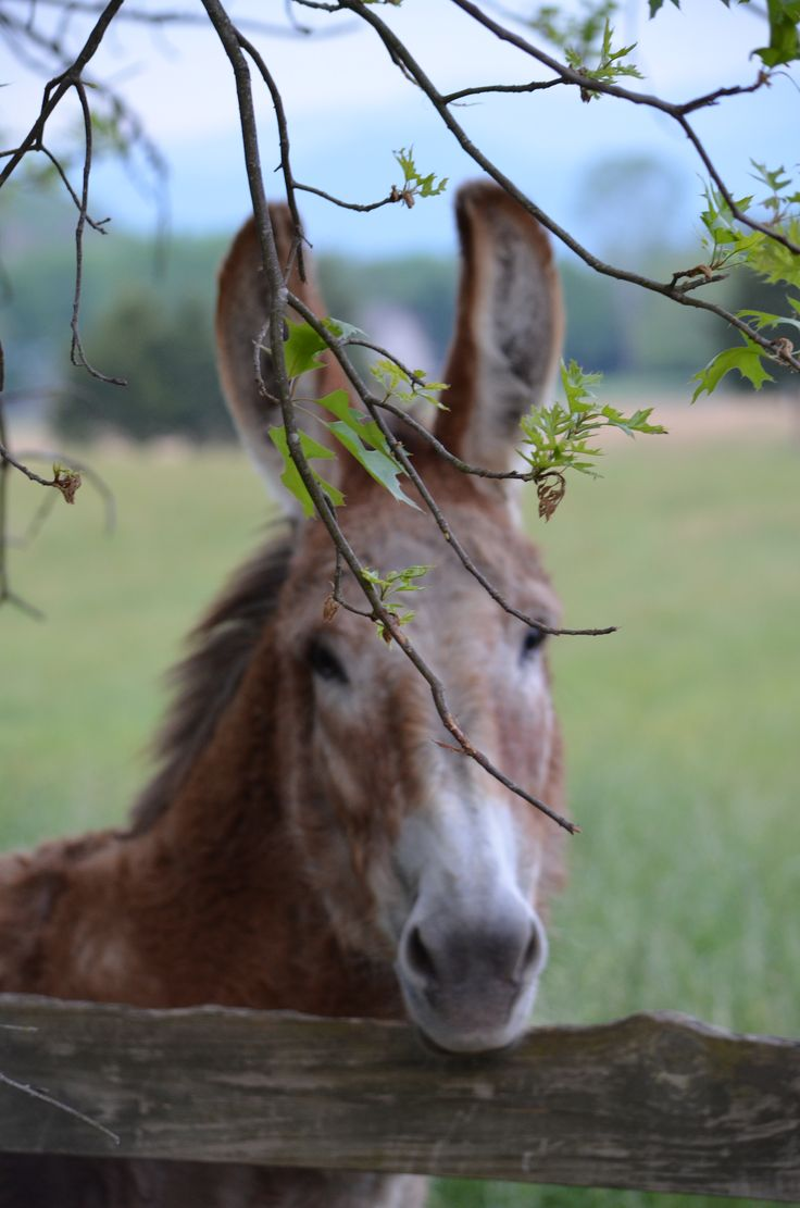 Hee haw buckwheat my sister in laws donkey in tennessee