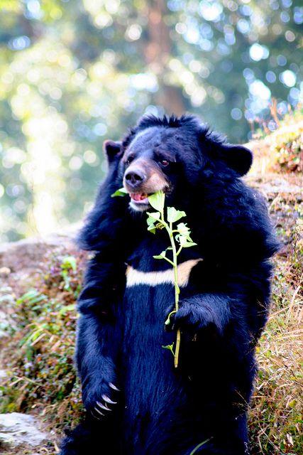 "The Asian Black Bear (Ursus thibetanus) also known as the "" Moon Bear""."